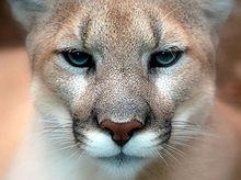 Post 1 l220px-Cougar_closeup KD